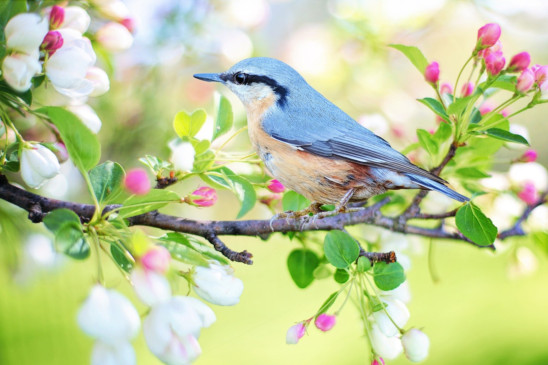 A blue bird on a branch covered in flower buds